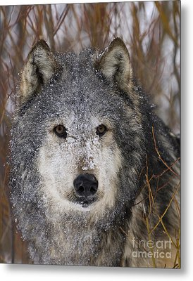 Cold Stare Metal Print by Wildlife Fine Art