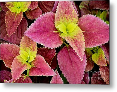 Coleus Colorfulius Metal Print by David Lawson