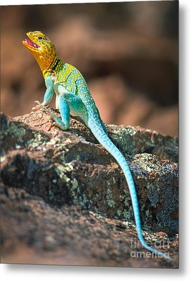 Collared Lizard Metal Print by Inge Johnsson