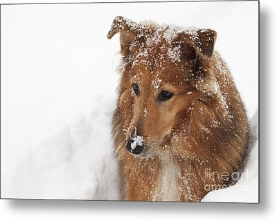 Collie In The Snow Metal Print by Jeannette Hunt