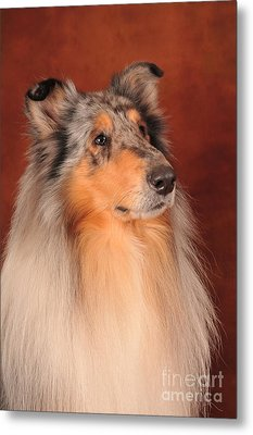 Metal Print featuring the photograph Collie Portrait by Randi Grace Nilsberg