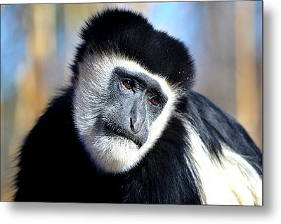 Metal Print featuring the photograph Colobus Contemplation by Deena Stoddard