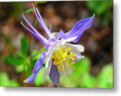 Colorado Blue Columbine Flower Metal Print