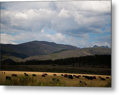 Metal Print featuring the photograph Colorado Cattle Graze by Shirley Heier