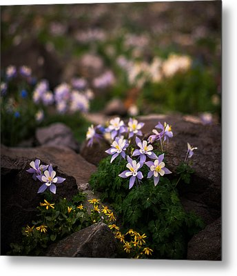 Colorado Columbine Glamour Shot Metal Print by Mike Berenson