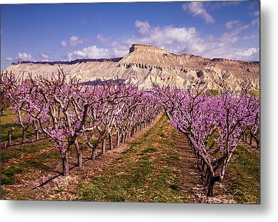 Colorado Orchards In Bloom Metal Print