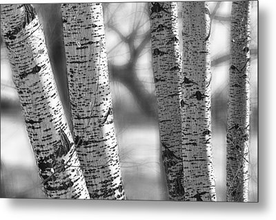 Colorado White Birch Trees In Black And White Metal Print by James BO  Insogna