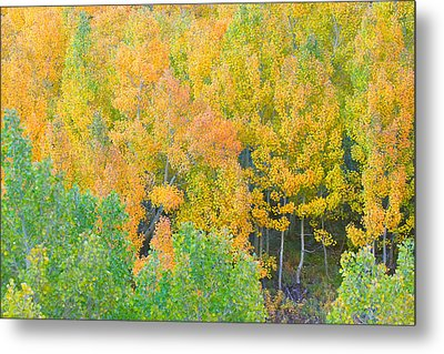Metal Print featuring the photograph Colorful Aspen Forest - Eastern Sierra by Ram Vasudev
