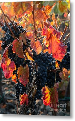Colorful Autumn Grapes Metal Print by Carol Groenen