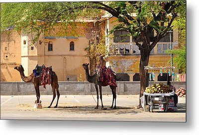 Colorful Camels - Jaipur India Metal Print by Kim Bemis