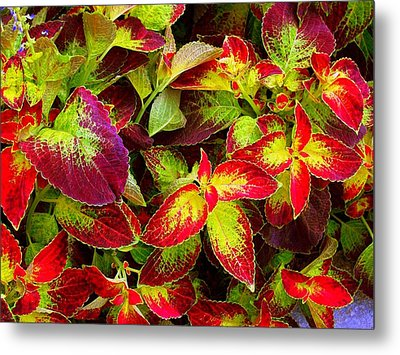 'colorful Coleus' Metal Print