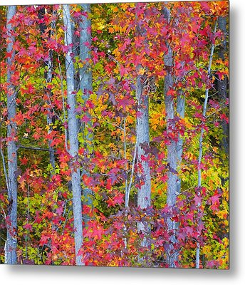 Colorful Fall Leaves Metal Print by Scott Cameron