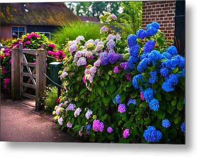 Colorful Hydrangea At The Gate. Giethoorn. Netherlands Metal Print by Jenny Rainbow