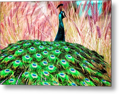 Colorful Peacock Metal Print by Matt Harang