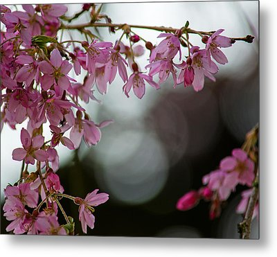 Metal Print featuring the photograph Colors Of Spring - Cherry Blossoms by Jordan Blackstone