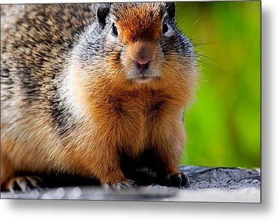 Columbian Ground Squirrel Metal Print by Bonnie Fink