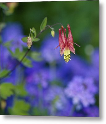 Metal Print featuring the photograph Columbine And Verbena by Jane Eleanor Nicholas