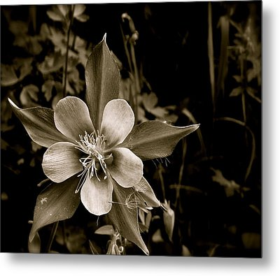 Columbine Metal Print by Kim Pippinger