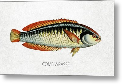 Comb Wrasse Metal Print by Aged Pixel