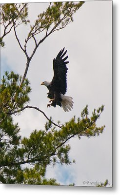 Metal Print featuring the photograph Coming In For A Landing by Brenda Jacobs