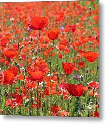 Commemorative Poppies Metal Print