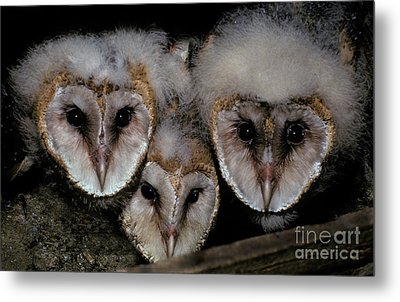 Common Barn Owl Chicks Tyto Alba Metal Print by Ron Sanford