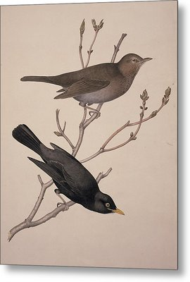 Common Blackbirds, 19th Century Artwork Metal Print by Science Photo Library