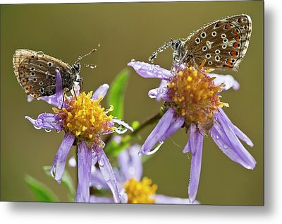 Common Blue Butterflies Covered In Dew Metal Print by Bob Gibbons