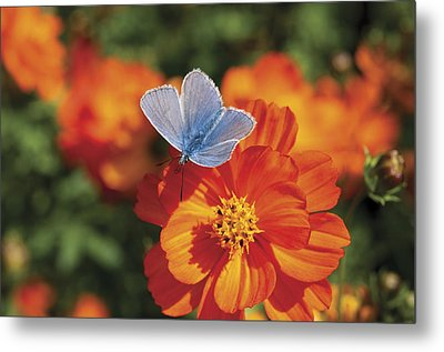 Metal Print featuring the photograph Common Blue Butterfly by Lana Enderle