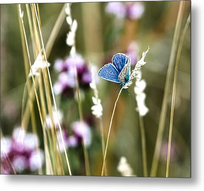 Common Blue  Metal Print