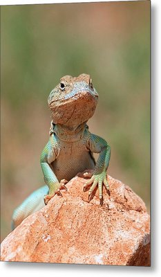 Metal Print featuring the photograph Common Collared Lizard 2 by Elizabeth Budd