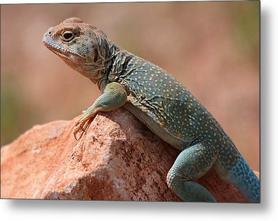 Metal Print featuring the photograph Common Collared Lizard by Elizabeth Budd