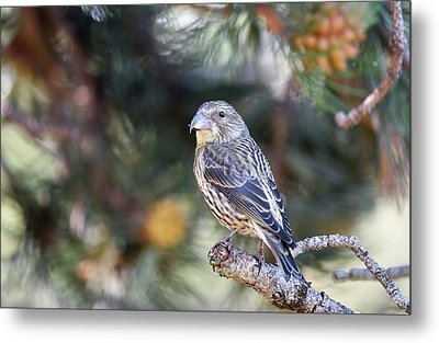 Common Crossbill Juvenile Metal Print by Dr P. Marazzi