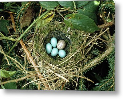 Common Cuckoo Cuculus Canorus Egg Laid Metal Print by Jean Hall