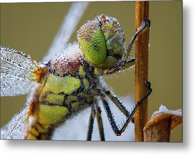Common Darter Dragonfly Metal Print by Heath Mcdonald