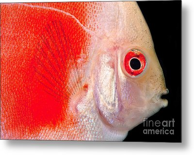 Common Discus Metal Print by Dante Fenolio