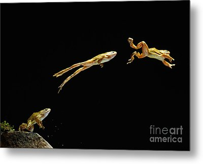 Common Frog Leaping Metal Print