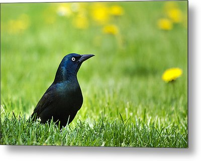 Common Grackle Metal Print by Christina Rollo