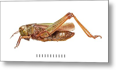Common Green Grasshopper Metal Print
