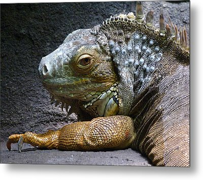 Common Iguana Relaxing Metal Print