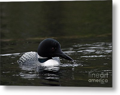 Common Loon 1 Metal Print by Larry Ricker