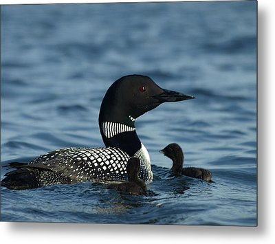 Common Loon Family Metal Print