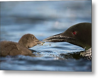 Common Loon Feeding Chick Metal Print by Dr P. Marazzi