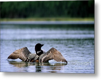 Common Loon Metal Print by Mark Newman
