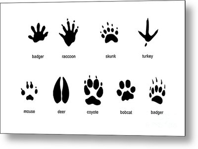 Common Mammal Animal Tracks Metal Print by Carlyn Iverson