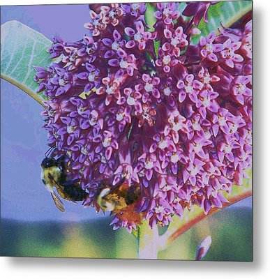 Common Milkweed Metal Print by Shirley Moravec