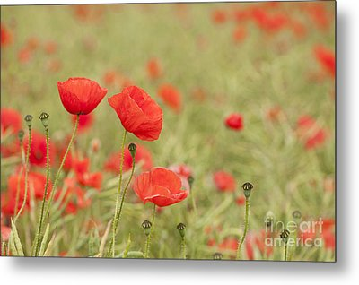 Common Poppies Metal Print by Anne Gilbert