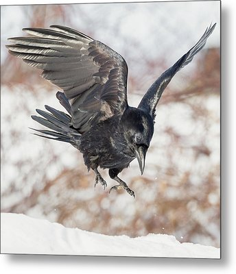 Common Raven Square Metal Print by Bill Wakeley