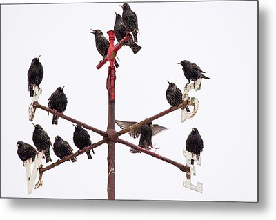 Common Starlings Metal Print by Ashley Cooper