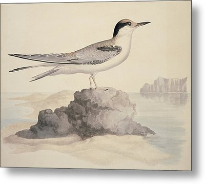 Common Tern, 19th Century Artwork Metal Print by Science Photo Library